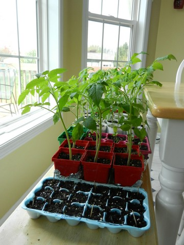 1439264991-growing-tomato-plants-from-seed-transplanting-seedlings-how-and-when1