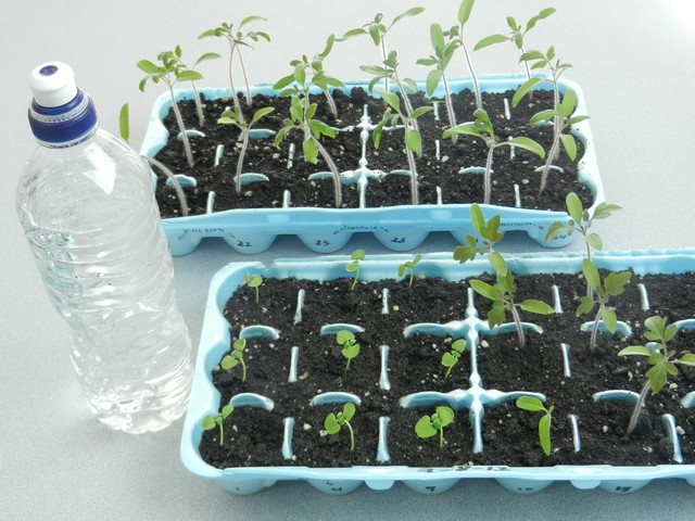 1439264991-watering-small-plants-grown-from-seed